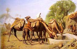 Camels At The Trough