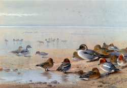 Pintail Teal And Wigeon On The Seashore